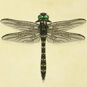 libélula anillada en un animal cruzando nuevos horizontes