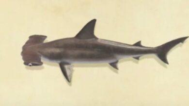 Photo of Animal Crossing New Horizons Hammerhead Shark: Cómo atrapar, ubicación, precio de venta